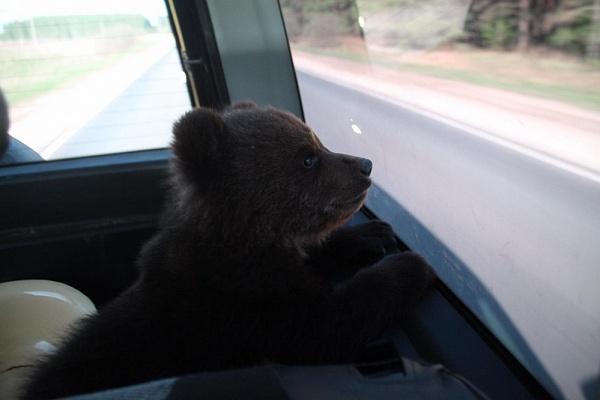 Выброшенного медвежонка приютили в Нижегородском цирке