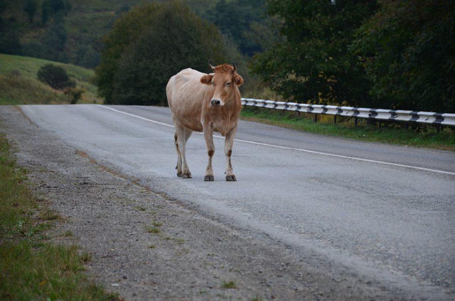 Нижегородку придавило сбитой коровой