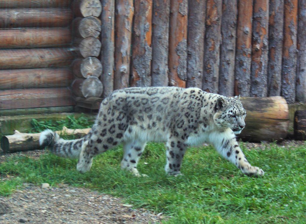 Фото дня: в зоопарке «Лимпопо» отмечают Международный день снежного барса