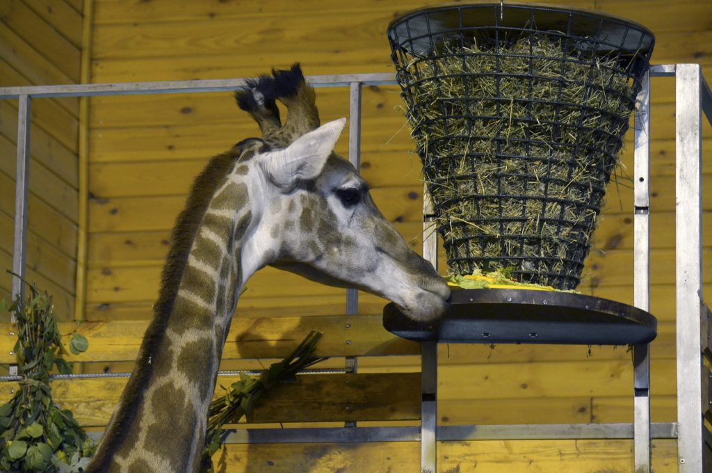 Видео дня: показываем, как жирафе «Радуге» делают массаж сотрудники нижегородского зоопарка