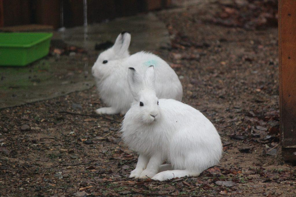 Зайцев-беляков привезли в зоопарк «Лимпопо» из Якутии